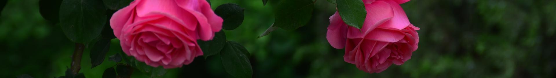 树状月季苗多少钱一棵