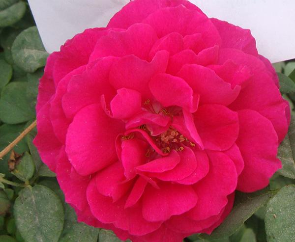 欧月月季-艾佛的玫瑰