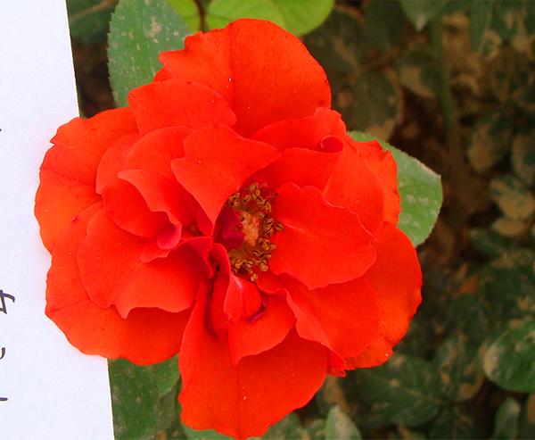欧月月季-橙色轰动