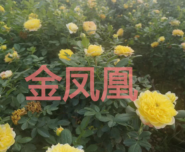 大花月季-金凤凰