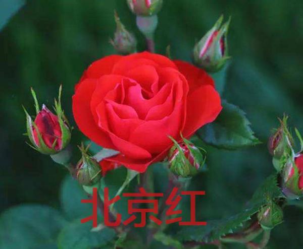 丰花月季-北京红