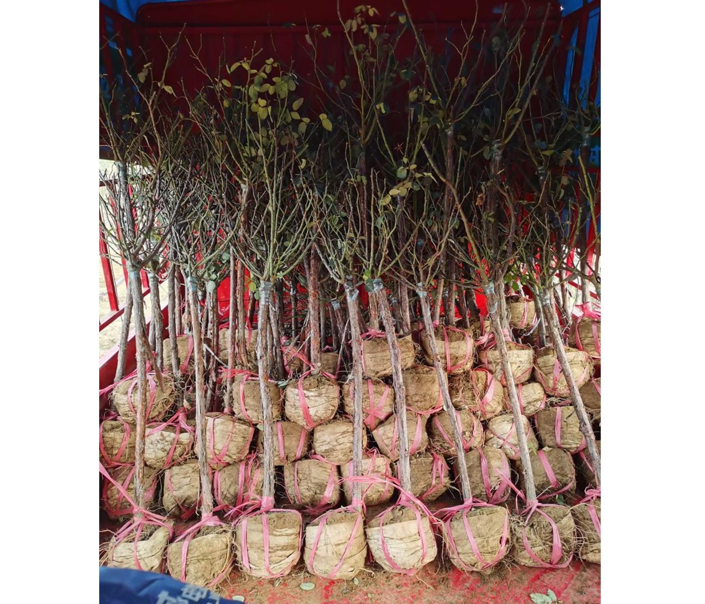 三公分树状月季发货