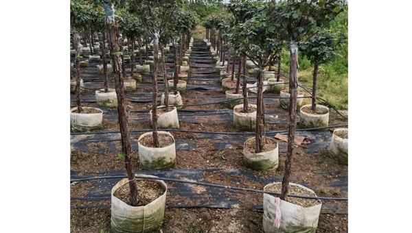焦作校园树状月季价格