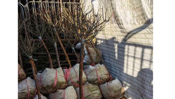 树状月季重剪后,是否需要施肥呢?