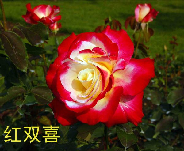 大花月季-红双喜