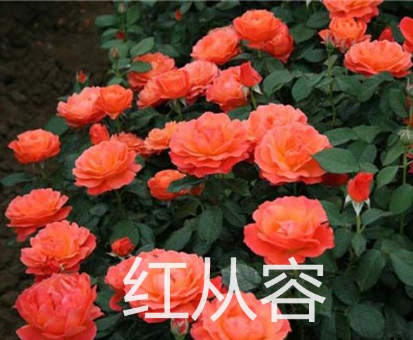 丰花月季-红从容