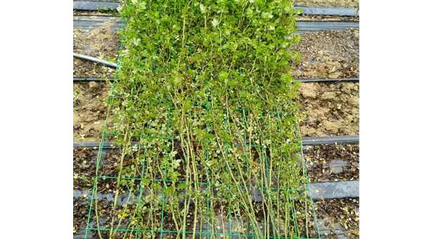 月季品种中,一般有哪些几乎常年开花的?