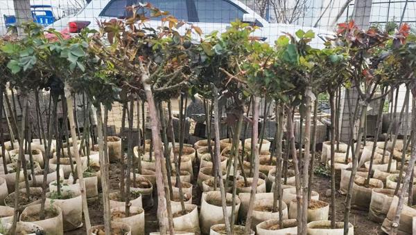 树状月季在城市中常用的几种形式