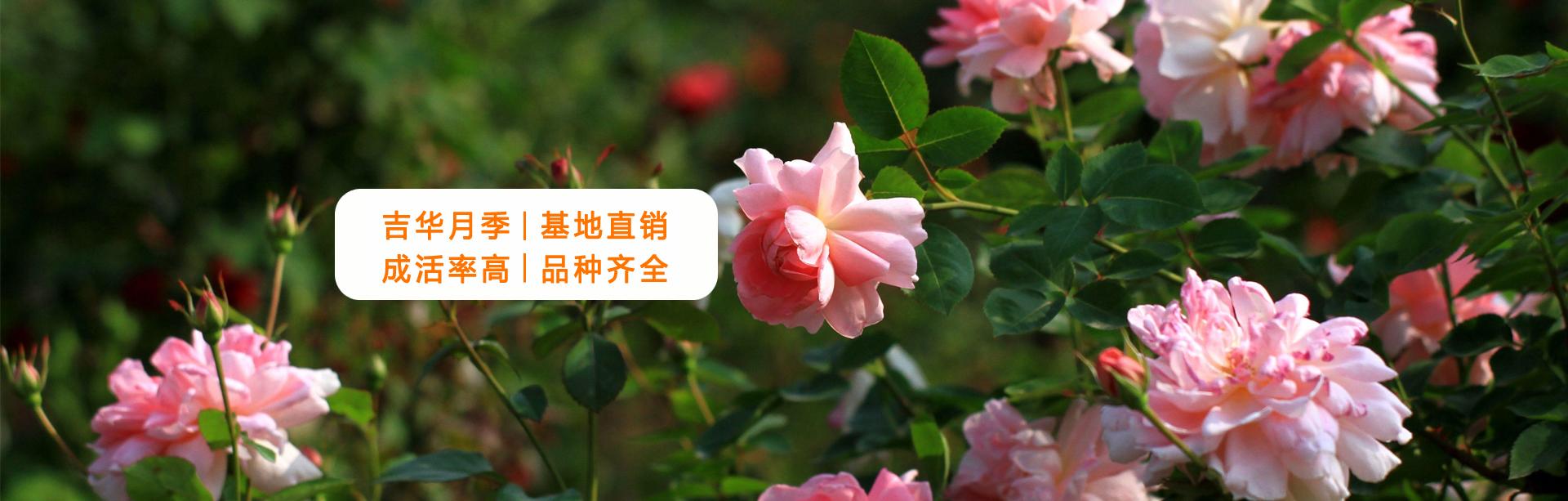 大花树状月季