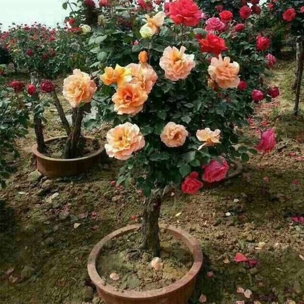 盆栽古桩月季