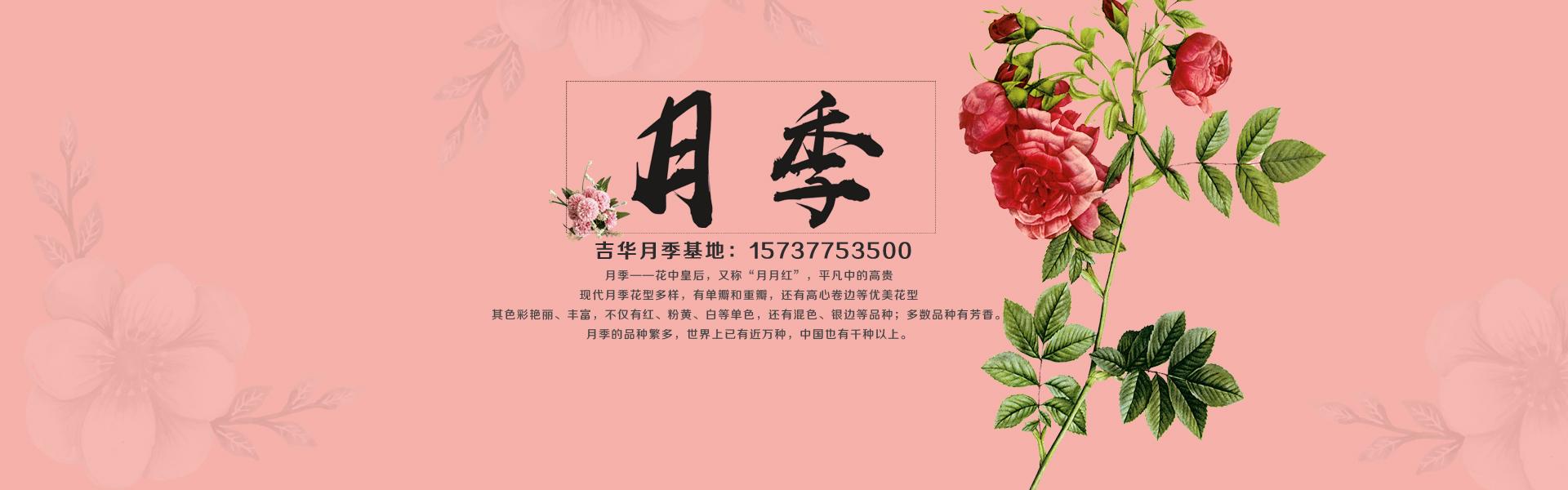 大花盆栽月季