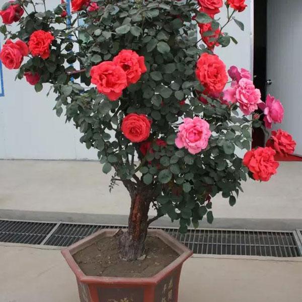 盆栽树状月季基地