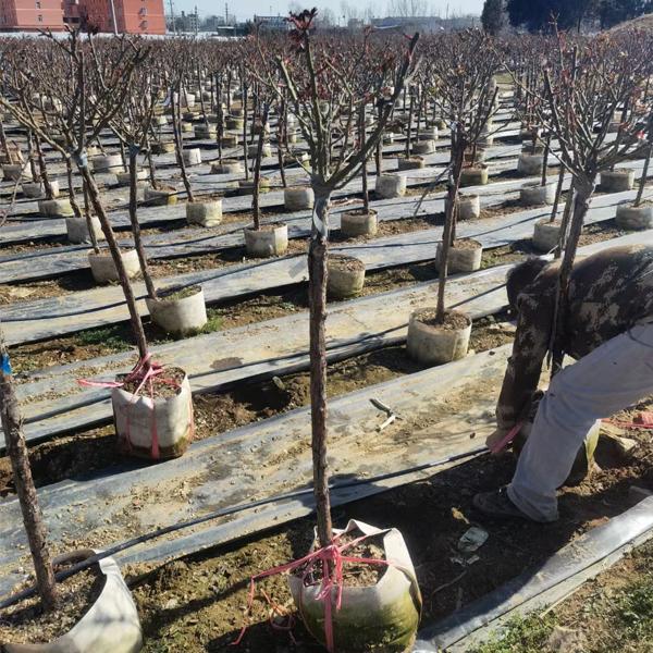 4公分树状月季发货案例