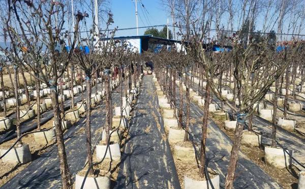 湖南庭院树状月季