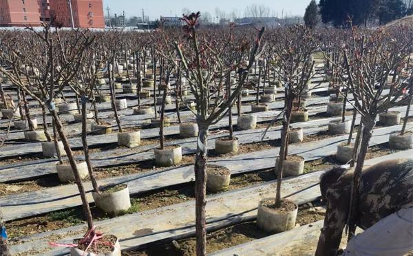 河南室外盆栽月季