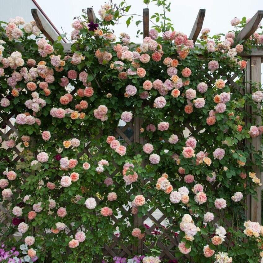 中国月季种植基地讲述多效唑对盆栽月季的促花作用