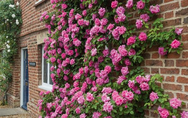 如今许多人热爱种植月季,那么月季花摘蕾需要注意什么?