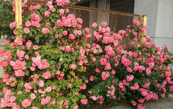 南阳月季种植基地介绍月季连续开花的方法