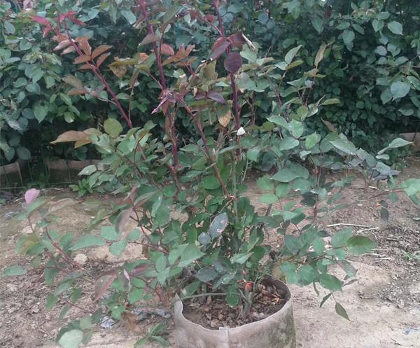 盆栽月季小苗