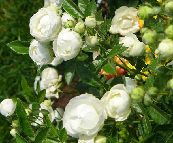 微型月季-白矮仙女