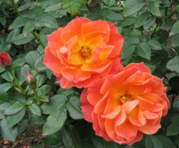 丰花月季-红丛容