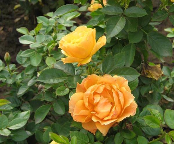 丰花月季-黄从容