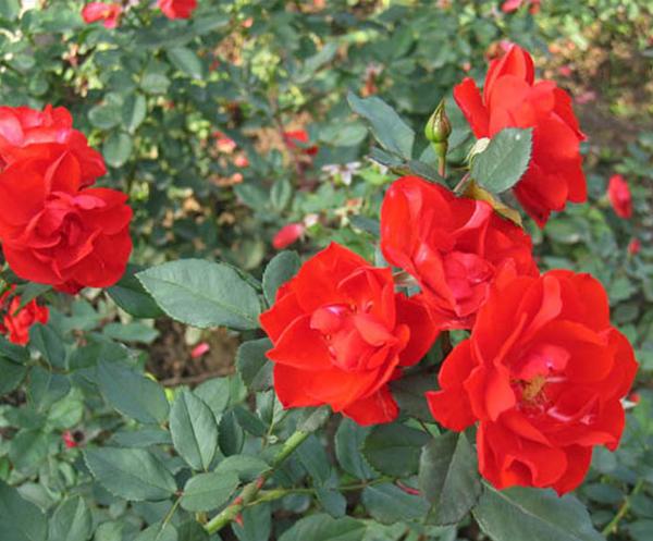 丰花月季-桔红潮