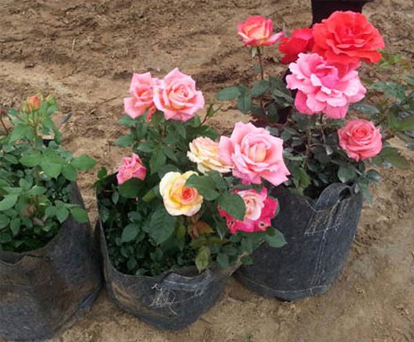 多色盆栽月季