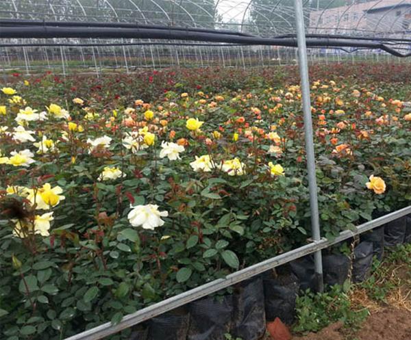 盆栽月季基地