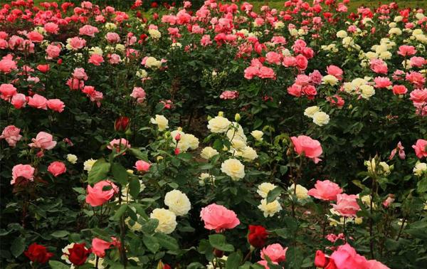 当你记牢左右修剪步聚与这种简易的流程,就会有着一棵给出漂亮花瓣的藤本月季。