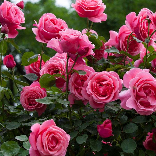 月季花的其它品种