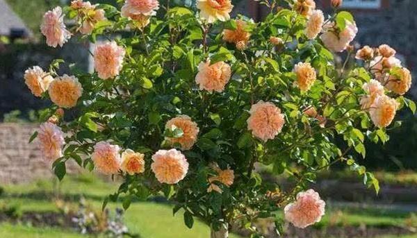 棒棒糖树状月季的分类,哪些适合庭院种呢