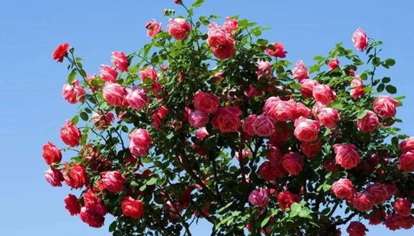 藤本月季种在自己院子里,也代表很多含义