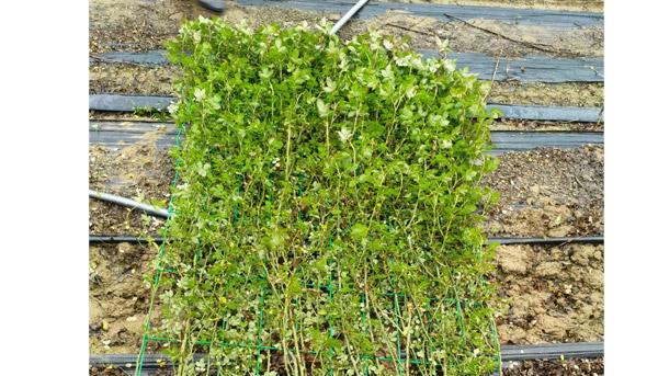 藤本月季夏季种养时,施肥、浇水和修剪同样不可忽视