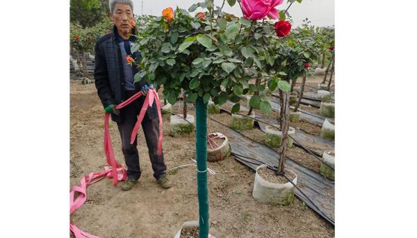 大花树状月季怎样让花朵开大呢,一起来看看