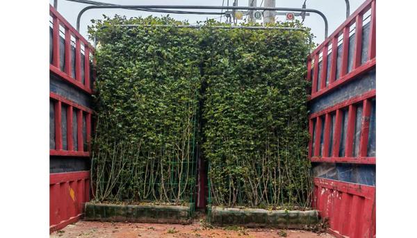 湖南大花月季,怎样养成自然且绿油油的模样呢?