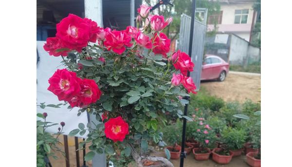 花友养盆栽的树状月季怎样上肥呢?