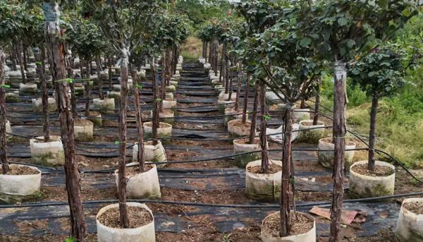 为什么大棚树状月季苗长得茁壮又高大?