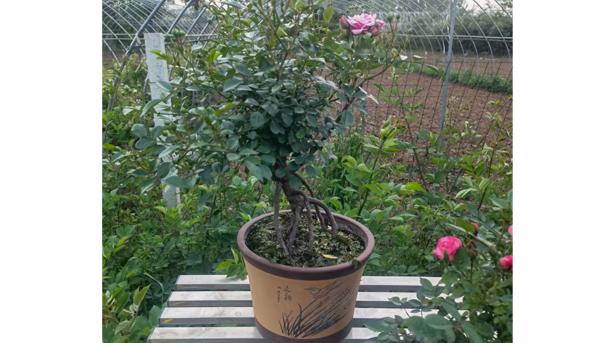 盆栽月季小苗用日常生活中的肥料,效果怎样?