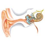 耳朵的生理结构