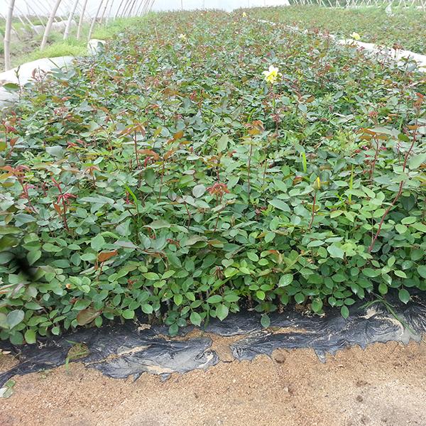 大花盆栽月季苗