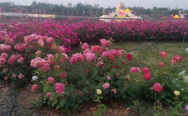 洛阳盆栽月季价格