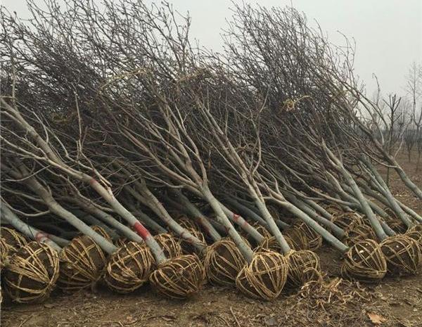 紫玉兰树供应