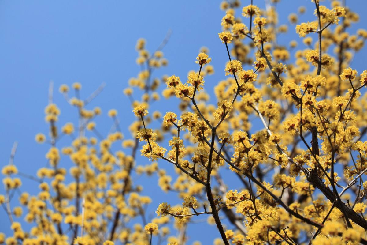 黄栌,作为一种盆景色泽艳丽令人赏心悦目那怎样培育养护它呢?