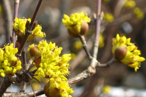 种植季节应该怎么对黄栌苗木进行修剪呢?修剪的话需要修剪多少?