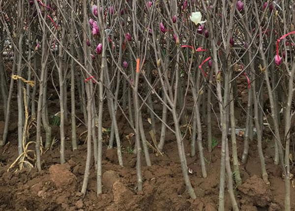 紫玉兰苗基地