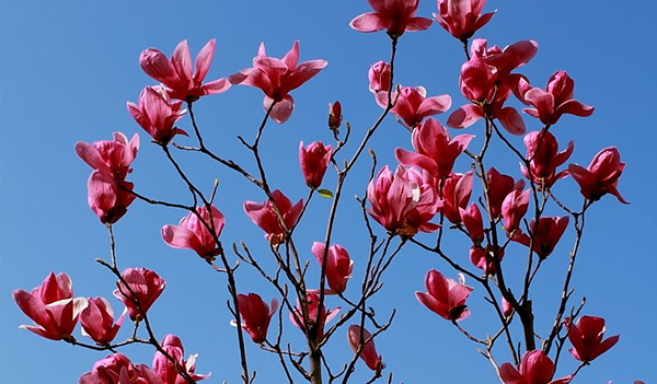 如何管理养殖盆栽紫玉兰树苗?