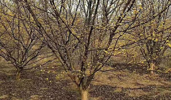 丛生黄连木的栽培技术是怎样的?