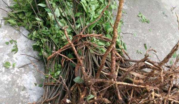 山茱萸苗繁殖方式介绍之播种繁殖