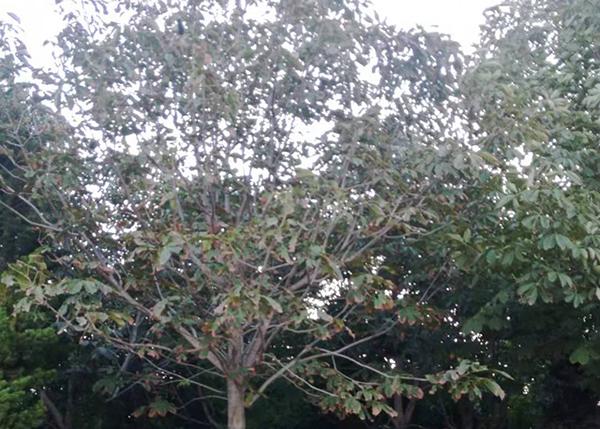 七叶树供应